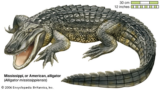 The alligator is the one that