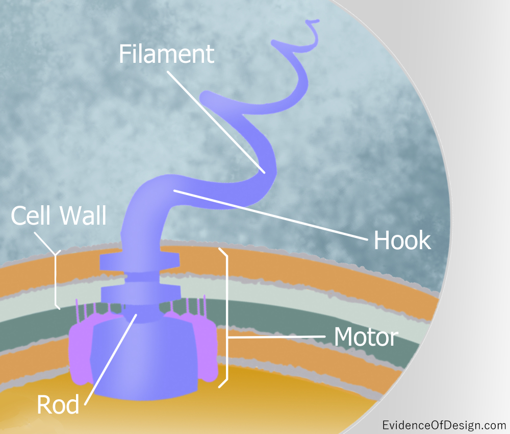 Everyone's supposed to know that everything came from simple things and evolved into complex things. But is that possible with even a flagella's motor? Find out by clicking the picture above. #flagellum #flagellummotor #creation #godisnotdead #evidenceofdesign