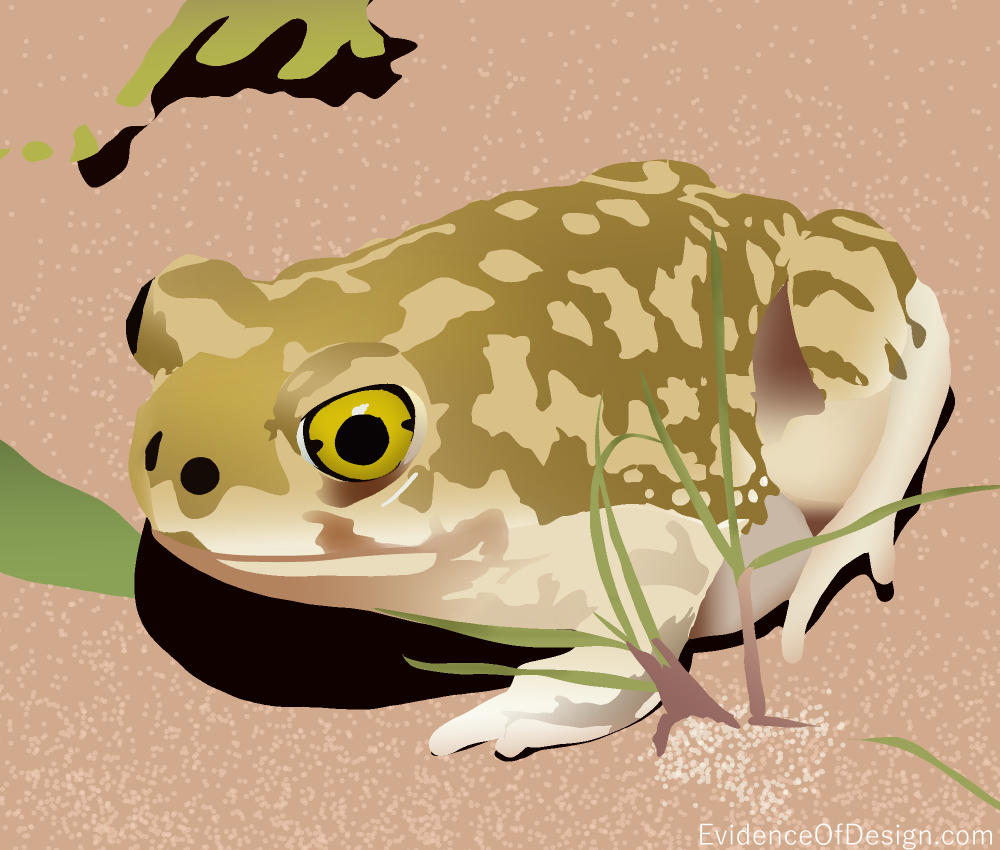 Welcome to ARIZONA land of Couch's Spadefoot Toad. What's that? Find out by clicking above. #evidenceofdesign #creation #evidence #toad #frog #animal #animalkingdom #creationevidence